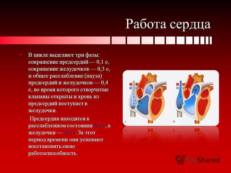 Работа сердца В цикле выделяют три фазы: сокращение предсердий 0,1 с, сокращение желудочков 0,3 с, и общее расслабление (пауза) предсердий и желудочков 0,4 с, во время которого створчатые клапаны открыты и кровь из предсердий поступает в желудочки.В