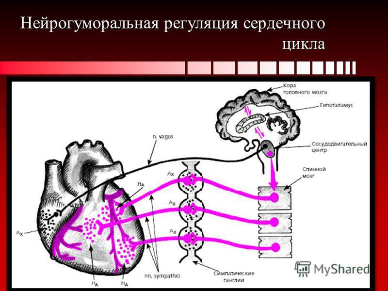 Нейрогуморальная регуляция сердечного цикла