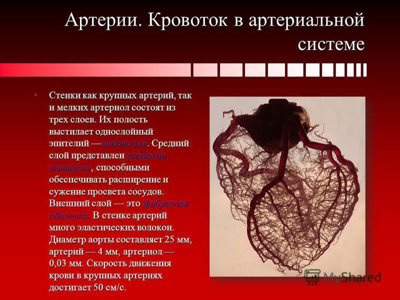 Артерии. Кровоток в артериальной системе Стенки как крупных артерий, так и мелких артериол состоят из трех слоев. Их полость выстилает однослойный эпителий эндотелий. Средний слой представлен гладкими мышцами, способными обеспечивать расширение и суж