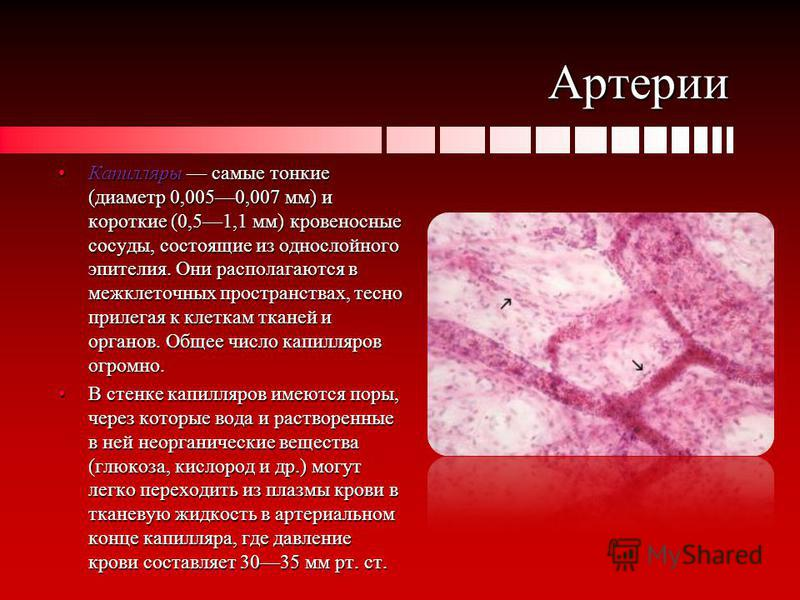 Артерии Капилляры самые тонкие (диаметр 0,0050,007 мм) и короткие (0,51,1 мм) кровеносные сосуды, состоящие из однослойного эпителия. Они располагаются в межклеточных пространствах, тесно прилегая к клеткам тканей и органов. Общее число капилляров ог