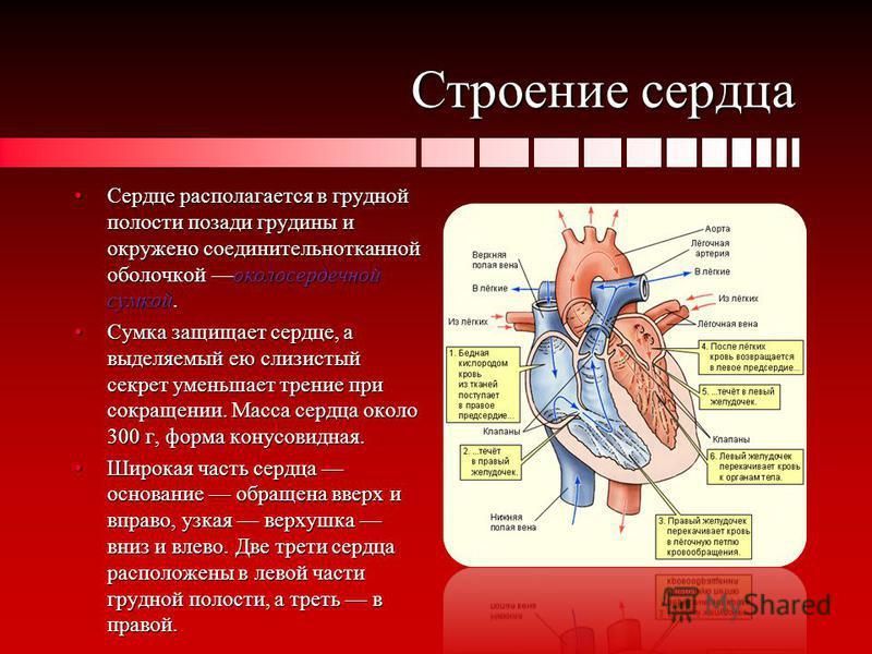 Строение сердца Сердце располагается в грудной полости позади грудины и окружено соединительнотканной оболочкой околосердечной сумкой.Сердце располагается в грудной полости позади грудины и окружено соединительнотканной оболочкой околосердечной сумко