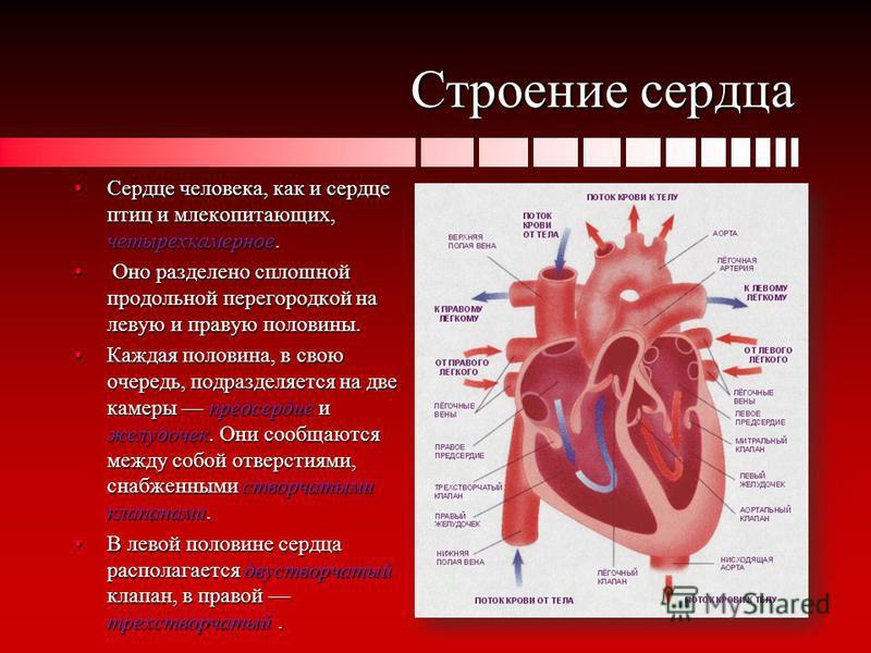 Строение сердца Сердце человека, как и сердце птиц и млекопитающих, четырехкамерное.Сердце человека, как и сердце птиц и млекопитающих, четырехкамерное. Оно разделено сплошной продольной перегородкой на левую и правую половины. Оно разделено сплошной