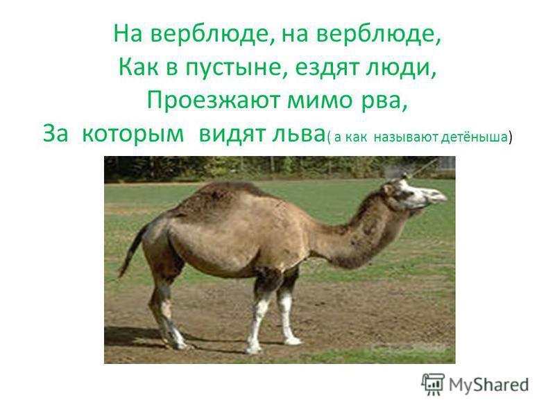 На верблюде, на верблюде, Как в пустыне, ездят люди, Проезжают мимо рва, За которым видят льва ( а как называют детёныша)