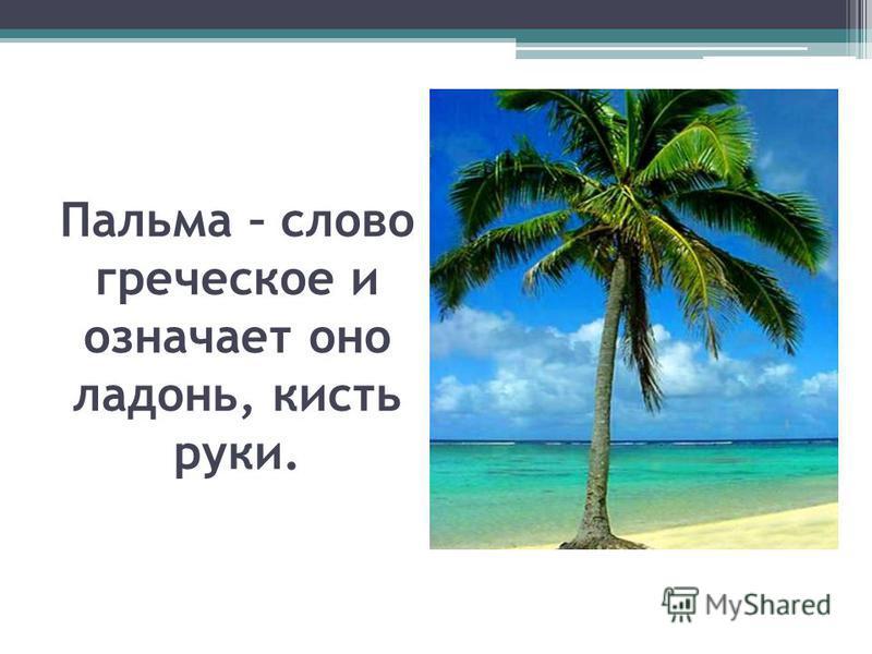 Пальма – слово греческое и означает оно ладонь, кисть руки.