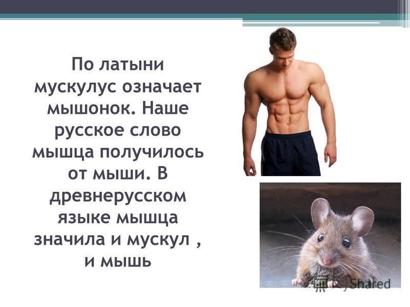По латыни мускулус означает мышонок. Наше русское слово мышца получилось от мыши. В древнерусском языке мышца значила и мускул, и мышь
