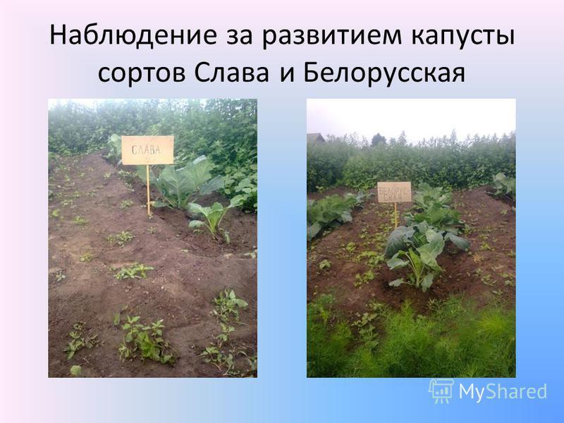 Наблюдение за развитием капусты сортов Слава и Белорусская