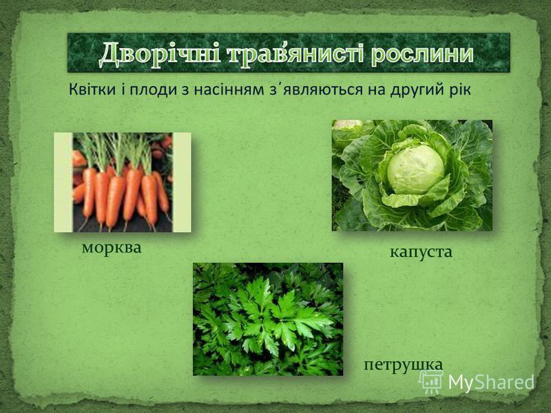 Квітки і плоди з насінням з΄являються на другий рік морква капуста петрушка