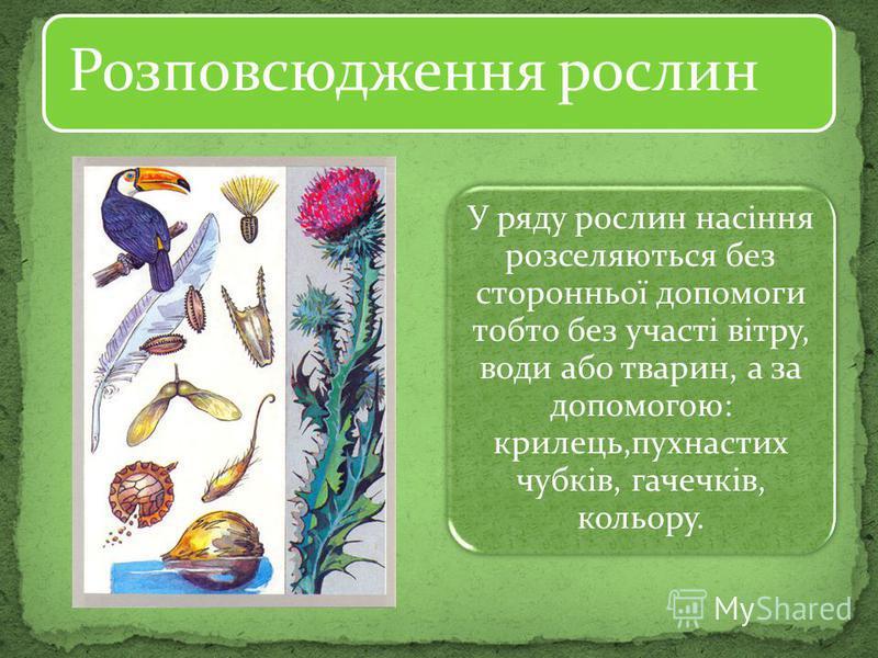 Розповсюдження рослин У ряду рослин насіння розселяються без сторонньої допомоги тобто без участі вітру, води або тварин, а за допомогою: крилець,пухнастих чубків, гачечків, кольору.
