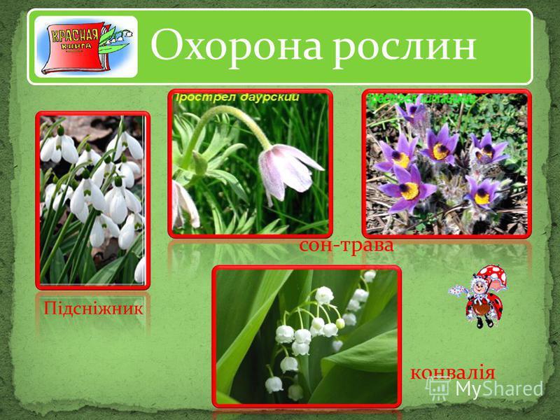 Охорона рослин Підсніжник сон-трава конвалія