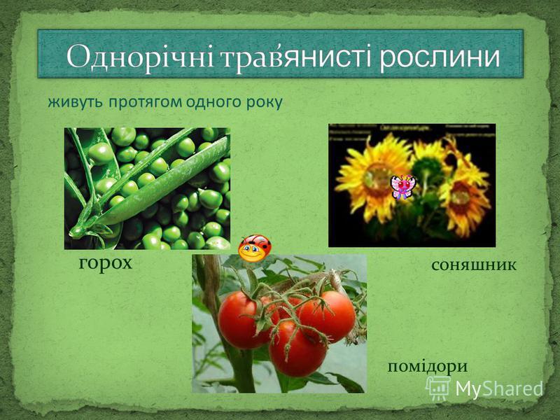 помідори соняшник горох живуть протягом одного року