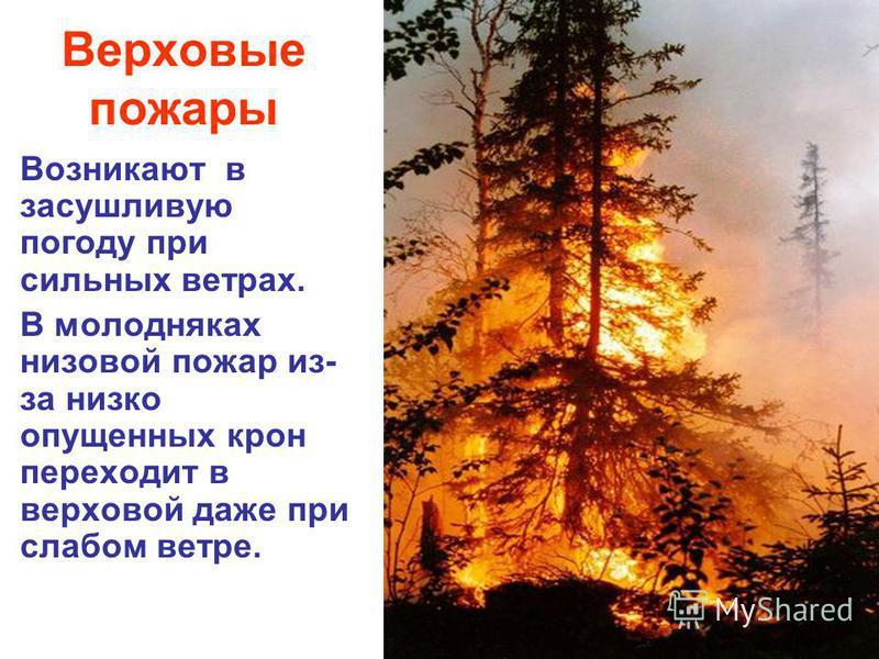 Верховые пожары Возникают в засушливую погоду при сильных ветрах. В молодняках низовой пожар из- за низко опущенных крон переходит в верховой даже при слабом ветре.