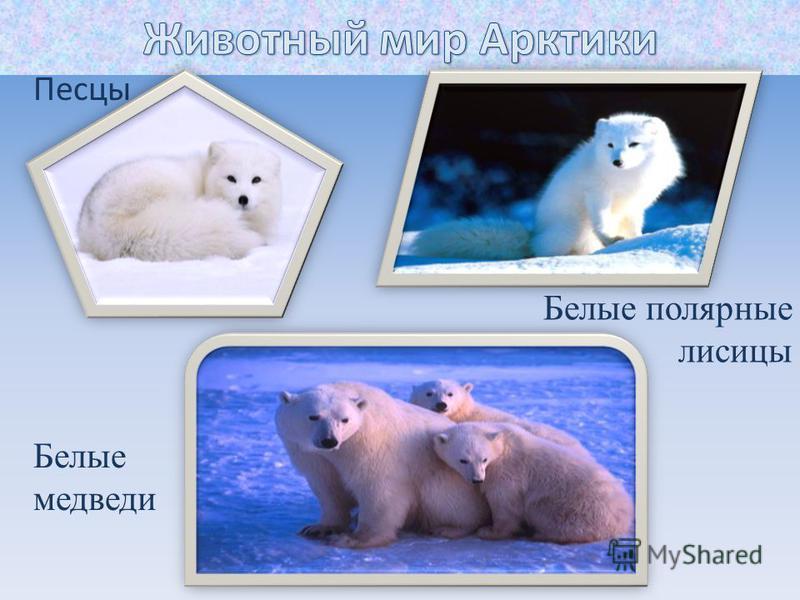 Песцы Белые полярные лисицы Белые медведи