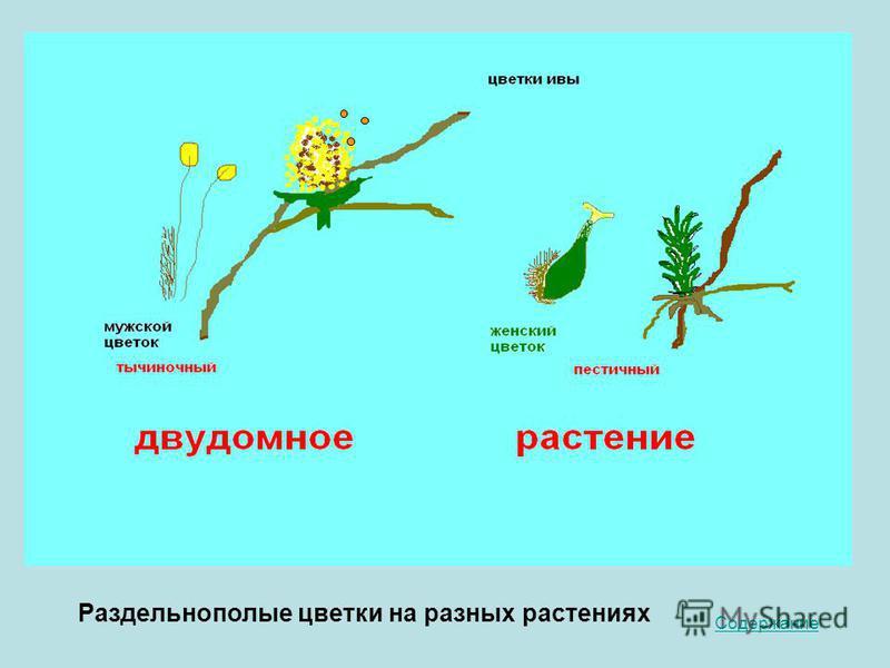 Содержание Раздельнополые цветки на разных растениях