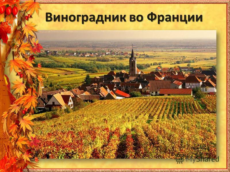 Виноградник во Франции