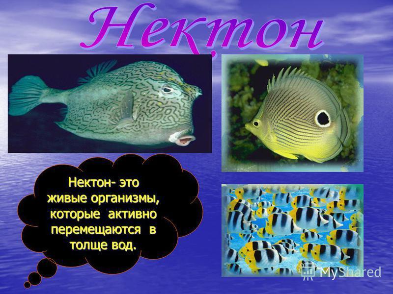 Нектон- это живые организмы, которые активно перемещаются в толще вод.