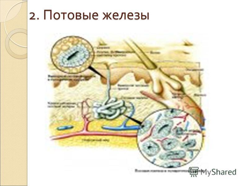 1. Сальные железы