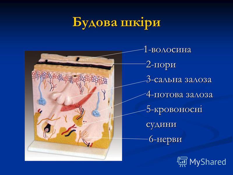 Будова шкіри 1-волосина 1-волосина 2-пори 2-пори 3-сальна залоза 3-сальна залоза 4-потова залоза 4-потова залоза 5-кровоносні 5-кровоносні судини судини 6-нерви 6-нерви