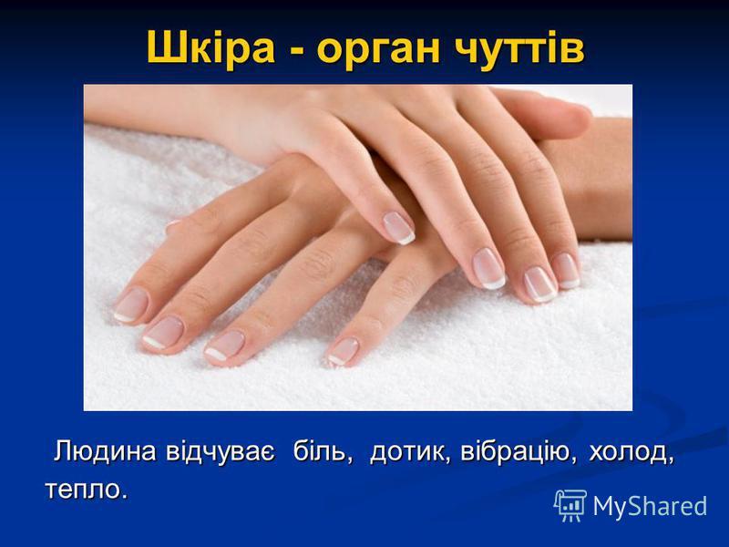 Шкіра - орган чуттів Людина відчуває біль, дотик, вібрацію, холод, тепло. Людина відчуває біль, дотик, вібрацію, холод, тепло.