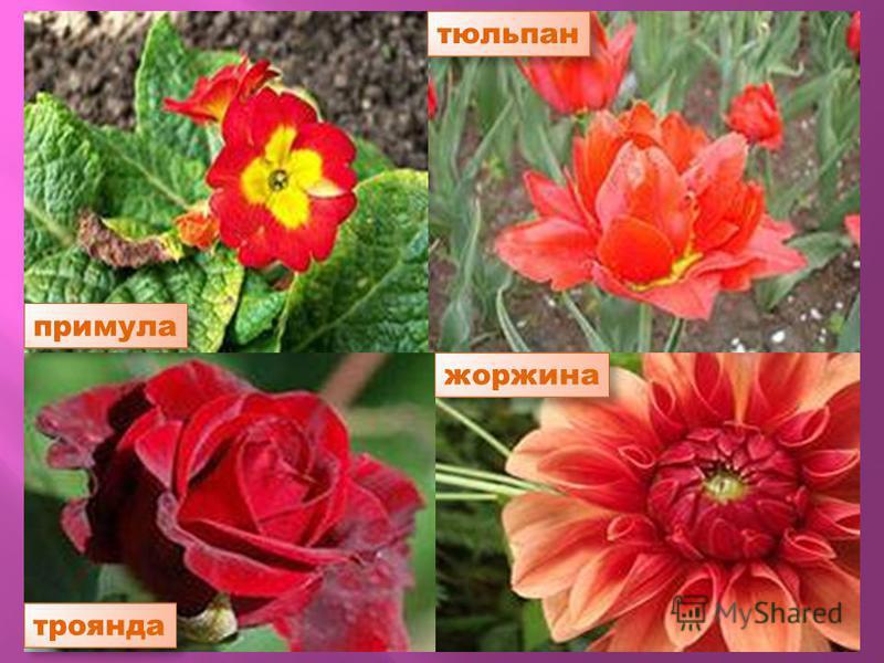 примула троянда тюльпан жоржина