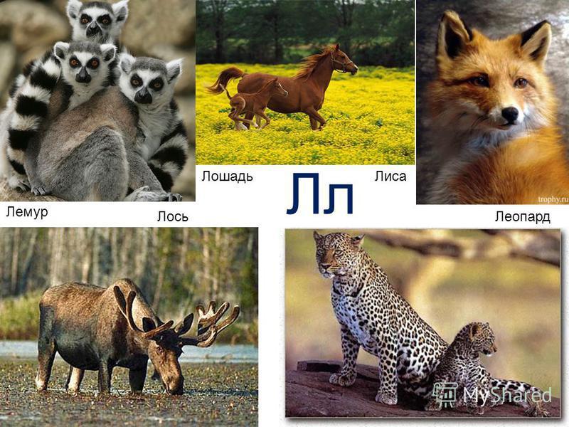 Лемур Лось ЛошадьЛиса Леопард