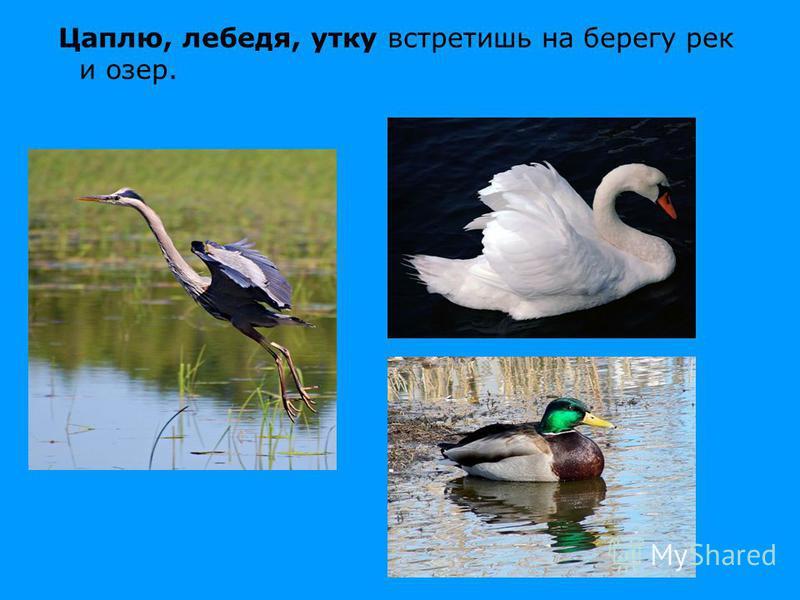 Цаплю, лебедя, утку встретишь на берегу рек и озер.
