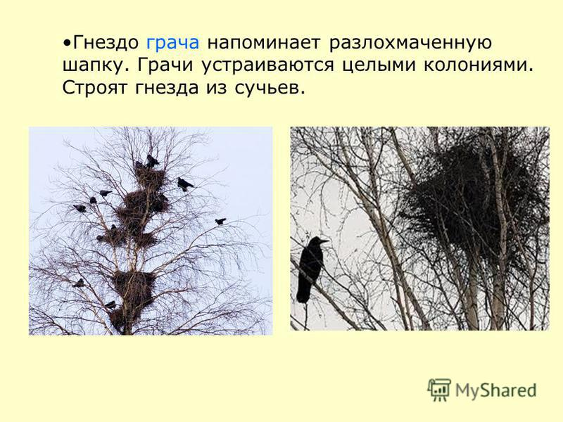 Гнездо грача напоминает разлохмаченную шапку. Грачи устраиваются целыми колониями. Строят гнезда из сучьев.