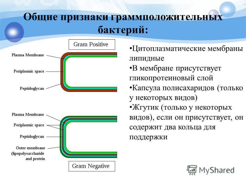 Общие признаки грамположительных бактерий: Цитоплазматические мембраны липидные В мембране присутствует гликопротеиновый слой Капсула полисахаридов (только у некоторых видов) Жгутик (только у некоторых видов), если он присутствует, он содержит два ко