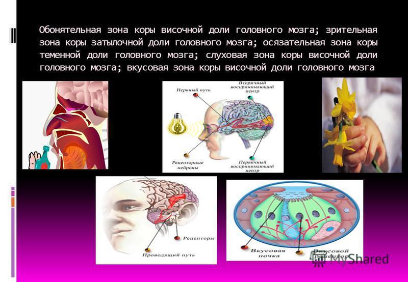Обонятельная зона коры височной доли головного мозга; зрительная зона коры затылочной доли головного мозга; осязательная зона коры теменной доли головного мозга; слуховая зона коры височной доли головного мозга; вкусовая зона коры височной доли голов
