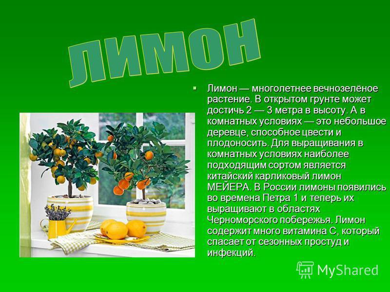 Лимон многолетнее вечнозелёное растение. В открытом грунте может достичь 2 3 метра в высоту. А в комнатных условиях это небольшое деревце, способное цвести и плодоносить. Для выращивания в комнатных условиях наиболее подходящим сортом является китайс
