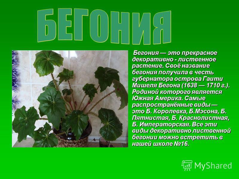 Бегония это прекрасное декоративно - лиственное растение. Своё название бегония получила в честь губернатора острова Гаити Мишеля Бегона (1638 1710 г.). Родиной которого является Южная Америка. Самые распространённые виды это Б. Королевка, Б.Мэсона,