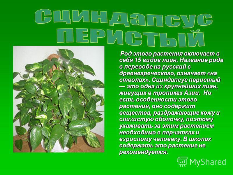 Род этого растения включает в себя 15 видов лиан. Название рода в переводе на русский с древнегреческого, означает «на стволах». Сциндапсус перистый это одна из крупнейших лиан, живущих в тропиках Азии. Но есть особенности этого растения, оно содержи