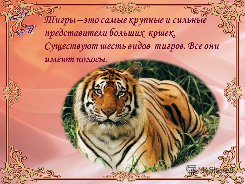 Тигры –это самые крупные и сильные представители больших кошек. Существуют шесть видов тигров. Все они имеют полосы.