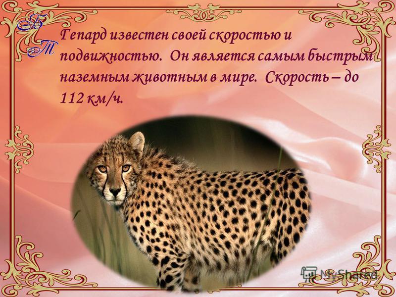 Гепард известен своей скоростью и подвижностью. Он является самым быстрым наземным животным в мире. Скорость – до 112 км/ч.