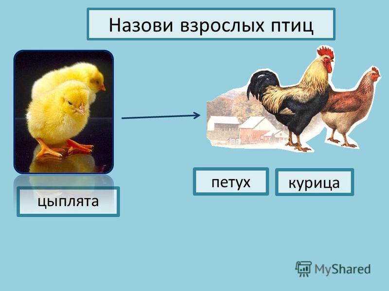 Назови взрослых птиц цыплята петух курица
