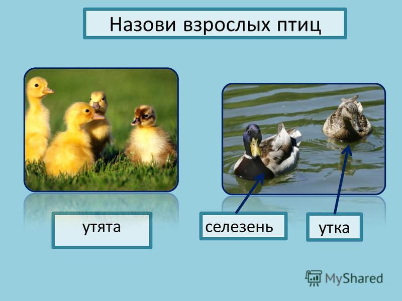 Назови взрослых птиц утята селезень утка