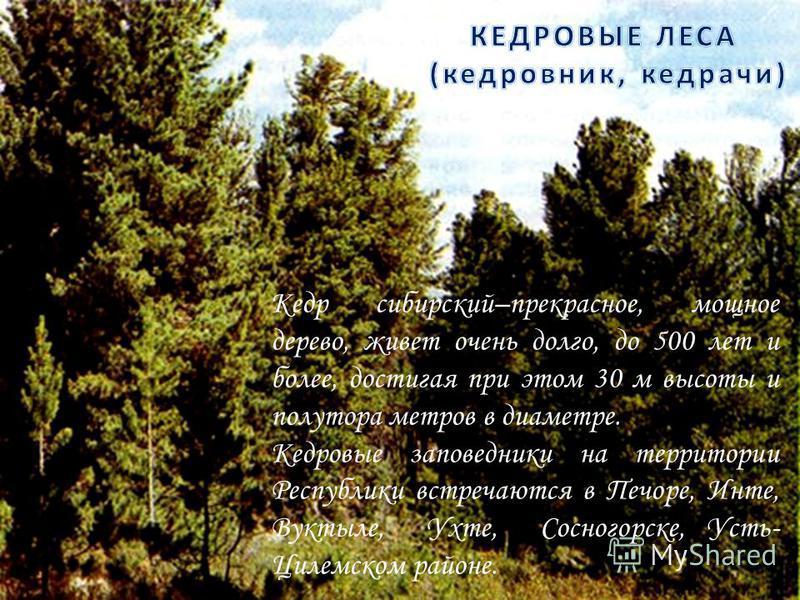 Кедр сибирский–прекрасное, мощное дерево, живет очень долго, до 500 лет и более, достигая при этом 30 м высоты и полутора метров в диаметре. Кедровые заповедники на территории Республики встречаются в Печоре, Инте, Вуктыле, Ухте, Сосногорске, Усть- Ц