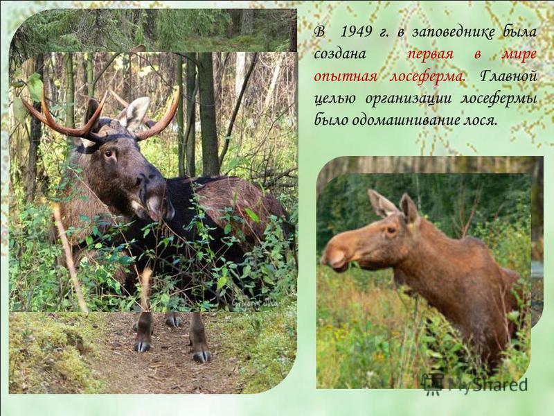 В 1949 г. в заповеднике была создана первая в мире опытная лосеферма. Главной целью организации лосефермы было одомашнивание лося.