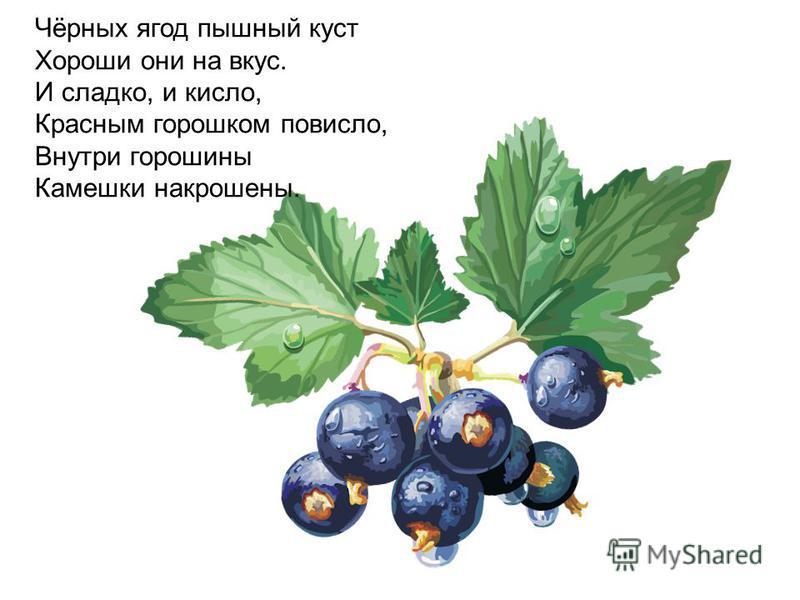 Чёрных ягод пышный куст Хороши они на вкус. И сладко, и кисло, Красным горошком повисло, Внутри горошины Камешки накрошены.