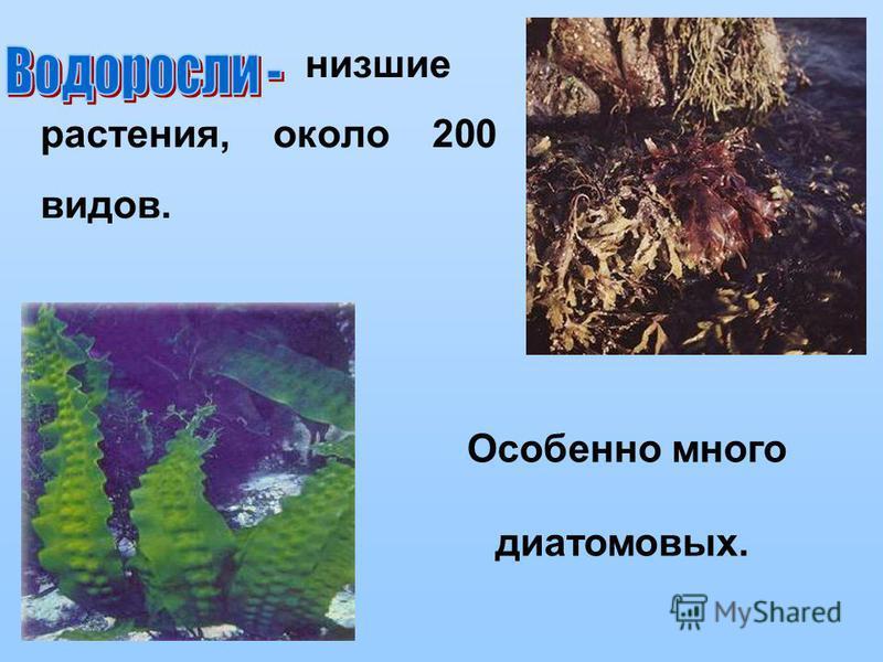 низшие растения, около 200 видов. Особенно много диатомовых.