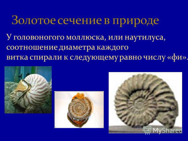 У головоногого моллюска, или наутилуса, соотношение диаметра каждого витка спирали к следующему равно числу «фи».