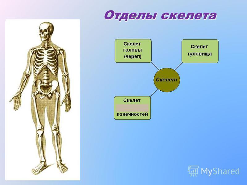 Как же кости соединяются друг с другом? Неподвижно : Подвижно :