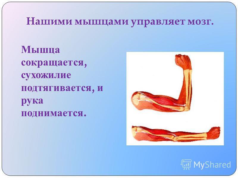 У человека таких мышц и сухожилий очень много. Большие и мощные для тяжёлой работы, а м аленькие - д ля тонкой.