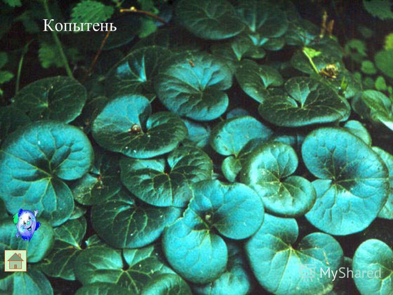 Лист крупный. В кожице листа много устьиц. На листе могут быть волоски с устьицами. У водных растений в мякоти имеется воздухоносная ткань.