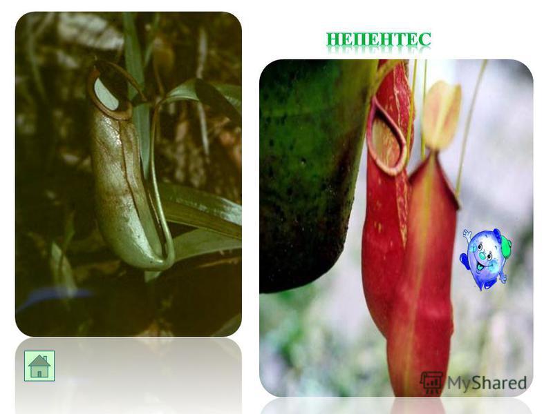 Венерина мухоловка является насекомоядным растением. Стоит насекомому попасть на лист, как оно тот же час оказывается в ловушке.