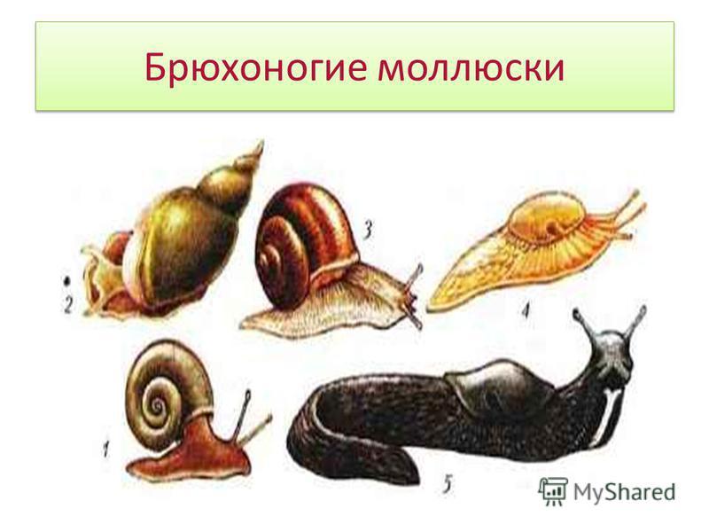 Перловица Двустворчатые моллюски - это естественные очистители воды. Питаются двустворчатые моллюски путём отфильтровывания из проходящей через мантийную полость воды мелких организмов и органических частиц. Вода поступает и выводится наружу через си