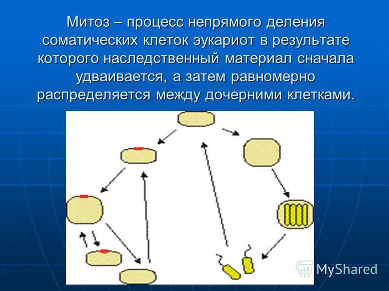 Митоз – процесс непрямого деления соматических клеток эукариот в результате которого наследственный материал сначала удваивается, а затем равномерно распределяется между дочерними клетками.