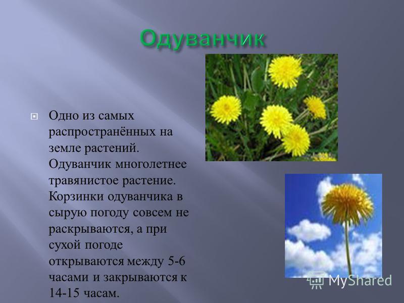 Одно из самых распространённых на земле растений. Одуванчик многолетнее травянистое растение. Корзинки одуванчика в сырую погоду совсем не раскрываются, а при сухой погоде открываются между 5-6 часами и закрываются к 14-15 часам.