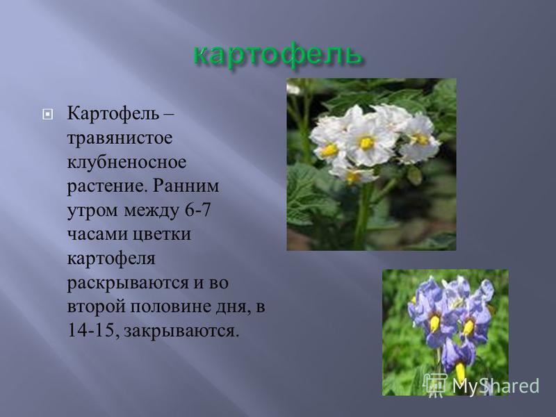 Картофель – травянистое клубненосное растение. Ранним утром между 6-7 часами цветки картофеля раскрываются и во второй половине дня, в 14-15, закрываются.