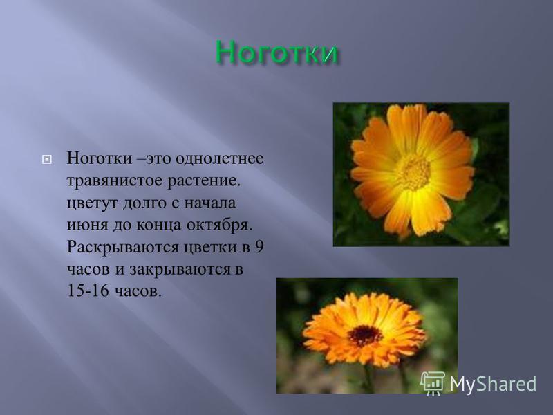 Ноготки – это однолетнее травянистое растение. цветут долго с начала июня до конца октября. Раскрываются цветки в 9 часов и закрываются в 15-16 часов.