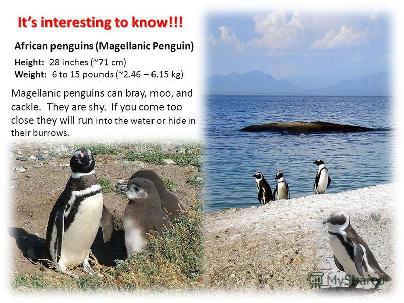 African penguins (Magellanic Penguin) Its interesting to know!!! Magellanic penguins can bray, moo, and cackle. They are shy. If you come too close they will run into the water or hide in their burrows. Height: 28 inches (~71 cm) Weight: 6 to 15 poun
